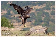 Aguila Real Hembra (Aquila Chrysaetos) (JORGE AMAYA BUSTAMANTE - JAKKEMATE) Tags: jakkemate jorge amaya bustamante nikon d500 sigma 150600 sports aguila real aquila chrysaetos golden eagle spain españa parque guadarrama