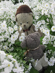 Paddington and Scout Play Hide-And-Seek in the Annual and Perennial Borders of the Fitzroy Gardens 4. (raaen99) Tags: paddington paddingtonbear paddybear paddy teddy teddybear bear softtoy vintage toy vintageteddy vintageteddybear vintagetoy handmade softie plush cute cuddly soft scout scoutbear knitting knitted knittedtoy fairtrade fairtradebear scouthouse tulip primula petunia primulas petunias tulips lollipopprimula border pink white yellow gold goldenyellow petal flower flora springflower seasonal spring planting perennial bed gardenbed eastmelbourne melbourne victoria australia gardens fitzroygardens park public publicgardens leaves green leaf bloom blossom massplanting modeltudorvillage