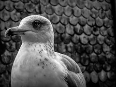 Portrait of a Seagull (Colormaniac too - Many thanks for your visits!) Tags: seagull seagullportrait monochrome blackwhite portrait porto portugal bird closeup europe topazstudio netartll hss