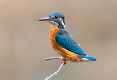 Kingfisher (wryneck94) Tags: birdwatching kingfisher somerset somersetlevels