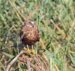 Marsh Harrier (wryneck94) Tags: birdwatching somerset somersetlevels