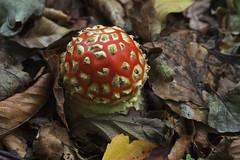 Fly Agarics - Amanita muscaria (favmark1) Tags: amanitamuscaria flyagaric kent mushrooms toadstools fungi