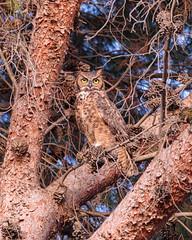 Great Horned Owl (Daniel-Godin) Tags: backyard bird california canon5dmarkiv danielgodin davis greathornedowl owl sigma150600mmf563dgoshsmcontemporary wildlife