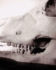 vanitas (hussi48) Tags: schädel knochen schwein blackwhite zähne teeth