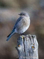 mountain bluebird (Pattys-photos) Tags: mountain bluebird henryslake idaho pattypickett4748gmailcom pattypickett