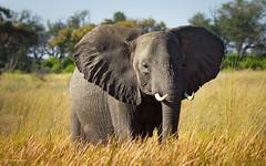 Ears wide open (He Ro.) Tags: africa africanelephant afrika botswana kanana kananaconcession okavangodelta southernafrica coth5 sunrays5 specanimal