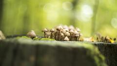 HBW 41/2019: mushroom world (Frau Koriander) Tags: enchanted forest wald woods nature natur pilze pilz baumpilze mushrooms mushroom fungi funghi hbw happybokehwednesday bokehwednesday bokeh dof depthoffield darmstadt baumstumpf stump snag 169