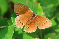 Ringlet butterfly (Ron and Co.) Tags: butterfly ringlet aphantopushyperantus nymphalidae lepidoptera macro northwarren