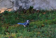 bluebird in grass (c coop) Tags: fall tn tennessee birds backyard bluebird
