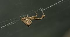 Uloborus plumides (Richard McMellon) Tags: featherleggedspider oxfordbotanicgarden uloborusplumipes arachnid macro spider arachtober