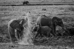 Elephant Magic Trick (Glatz Nature Photography) Tags: africa nature wildlife wildanimal botswana chobenationalpark nikond5 glatznaturephotography blackandwhite bw elephant monochrome magic dirt africanelephant loxodontaafricana africanbushelephant