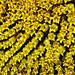 Sunflower seed head - Tournesol en tête de semences