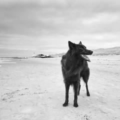 Totoro 🐺 (Jos Mecklenfeld) Tags: bw monochrome noordzee nordsee northsea callantsoog noordholland nederland niederlande netherlands strand beach hond hund dog schäferhund shepherddog shepherd herdershond herder hollandseherder dutchshepherd totoro