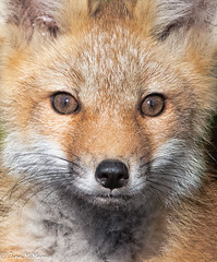Red Fox Kit (NorthShoreTina) Tags: fox foxkit redfox