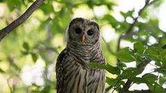 Hoo hoooo are you? (jakegurnsey) Tags: sony canada birds raptor barred owl wildlife bird birding a6300 ontario owlet