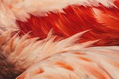 flamingo feathers (dono heneman) Tags: flamingofeathers plumesdeflamantrose plume feather flamantrose flamingopink animal animaux animals animalia nature détail divers oiseau bird vertébré vertebrata zoo zoologie sigean aude languedocroussillon occitanie france pentax pentaxart pentaxk3