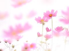flying cosmos flower (Tomo M) Tags: cosmos flower pink outdoor autumn nature 巾着田 highkey bokeh macro soft dreamy pastel