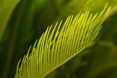 Unter Palmen (Ernst_P.) Tags: 135mm a99ii austria aut botanischergarten f20 innsbruck österreich pflanze samyang tirol walimex palme palma palm grün green verde