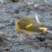 American Redstart (immature male)