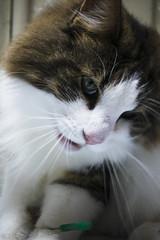 Fang song:Fang song (miyukiz4 ɥsıןƃuǝ ɹood) Tags: кошка mačka кот en katt köttur კატა un gat katze macska chat katė pisică котенок pisoi kačiukas kotek chaton cica kätzchen mačiatko kettlingur cat kitty