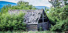 2019 - Road Trip #2 - 4 - Tappen Valley Road (Ted's photos - Returns late November) Tags: 2019 bc britishcolumbia canada cropped nikon nikond750 nikonfx tedmcgrath tedsphotos vignetting old oldbuilding neglected neglectedbuilding foliage leakyroof roof farmbuilding tappenvalleyroad