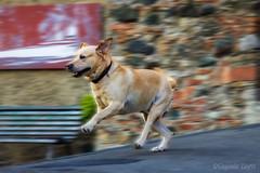 la corsa di Denver - the Denver race (Eugenio GV Costa) Tags: approvato dog cane golden fast run retriever domestico animale corsa zampa veloce