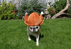Happy Thanksgiving ~ Joyeuse Action de Grâce! (DaPuglet) Tags: thanksgiving happythanksgiving holiday thankful blessed pug pugs dog dogs pet pets animal animals costume turkey turkeyhat hat funny cute pugturkey actiondegrâce carlin chien carlins pugthanksgiving sunray5 coth5