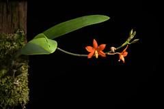 [Mexico] Prosthechea vitellina (Lindl.) W.E.Higgins, Phytologia 82: 381 (1997 publ. 1998)