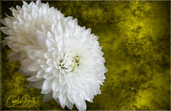 Golden Fleurs (cd32919) Tags: white summer flower beauty flowers fresh live nature outdoors aroma petals cyndydoty fineart texture