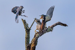 Green Heron and Blue Jay argue over a perch in Powell Creek Preserve, Southwest Florida (diana_robinson) Tags: greenheron butoridesvirescens bluejay cyanocittacristata dispute argument perch powellcreekpreserve southwestflorida bird birdinflight squabble altercation bickering brawl clash disagreement exchange feud quarrel combative