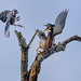 Green Heron and Blue Jay argue over a perch in Powell Creek Preserve, Southwest Florida