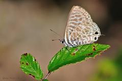 Leptotes pirithous (Linnaeus, 1767) (ajmtster) Tags: macrofotografía macro insecto insectos mariposa mariposas lepidopteros lycaenidae licenidos amt leptotespirithous leptotes pirithous grisestriada butterfly butterflies papillon farfalle
