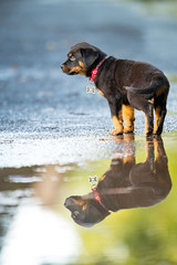 puppy dreams (Paul wrights reserved) Tags: rottweiller pup puppy puppies dog dogs reflection reflections reflectionphotography cute cuteanimals heart water puddle puddles puddlephotography animal animals animalportrait