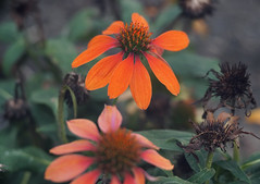 DSC02038 (Lens Lab) Tags: sony a7r goi argon2 90mm f35 plants garden flowers echinacea coneflower