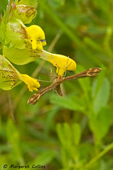 Unidentified Plume Moth - Gillmeria pallidactyla (margaretc1946) Tags: plumemoth pentaxk10 sigma10528macrolens