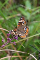 Junonia coenia (Common Buckeye butterfly) (jimf_29605) Tags: junoniacoenia commonbuckeyebutterfly francismarionnationalforest charlestoncounty berkeleycounty southcarolina sony a7rii 90mm wildflowers butterfly