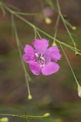 Agalinis purpurea (Purple False-foxglove) (jimf_29605) Tags: agalinispurpurea purplefalsefoxglove francismarionnationalforest charlestoncounty berkeleycounty southcarolina sony a7rii 90mm wildflowers