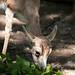 Black-tailed gazelle