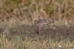 Merlin (Simon Stobart - Just Got Back) Tags: merlin falco columbarius flying north east england uk