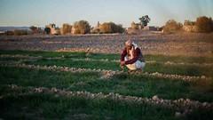 PO_YEM_20180212082 (FAO News) Tags: yemen ruralcommunities neareast cropproductionactivities crops cultivation developmentaid plants wheat farming sanaa