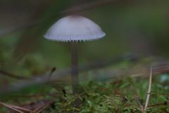 White mushroom (Håkan Jylhä (Thanks for +1000000 views)) Tags: sverige sweden autumn höst dreamy liten tiny vit white svamp mushroom närbild closeup close macro rx10iv sony jylhä håkan