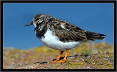 TURNSTONE (PHOTOGRAPHY STARTS WITH P.H.) Tags: turnstone paignton south devon nikon d500 200500mm afs vr