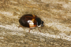 10 Spot Ladybird - bimaculata form (Prank F) Tags: rspb thelodge sandy bedfordshireuk wildlife nature insect macro closeup beetle ladybird ladybug 10spot bimaculata adalia10punctata