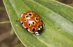 Eyed Ladybird (Prank F) Tags: rspb thelodge sandy bedfordshireuk wildlife nature insect macro closeup beetle ladybird ladybug eyed anatisocellata