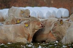 sover / sleeping (KvikneFoto) Tags: ku cows cattle livestock storfe rundballer traktoregg bokeh tamron nikon charolais