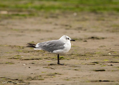 Laughing Gull (Kate M Gray) Tags: canon kategray novascotia mccormacksbeach laughinggull