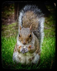 Nuts! (Andreadm66) Tags: whitby pannettpark nature nuts wildlife squirrel