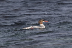 Female Goosander at Nærlandsanden S24A6314 (grebberg) Tags: nærlandsanden hå rogaland norway june 2019 female goosander laksand mergusmerganse mergus duck bird
