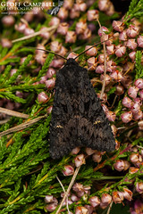Black Rustic (Aporophyla nigra) (gcampbellphoto) Tags: aporophyla nigra black rustic moth insect macro nature wildlife north antrim gcampbellphoto outdoor depth field