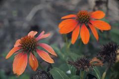 DSC02040 (Lens Lab) Tags: sony a7r goi argon2 90mm f35 plants garden flowers echinacea coneflower